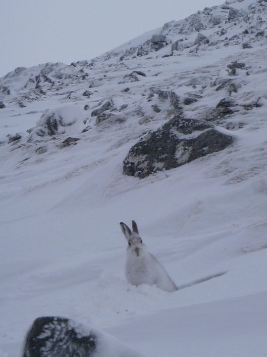 Mountain hare on Aonach Mor