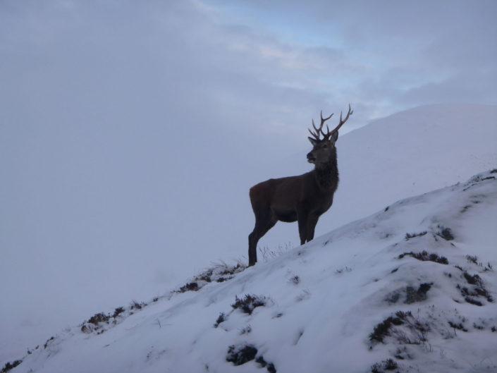 Deer on Ben Nevis